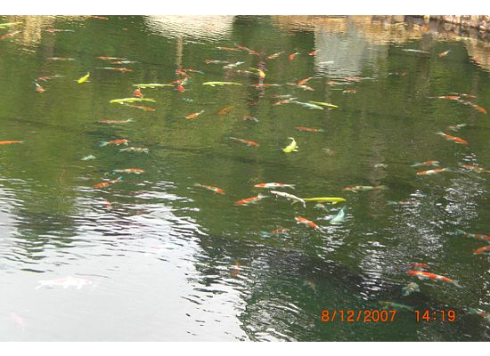 Look at all those beautiful Koi fish. There must be at least 100 of them in the