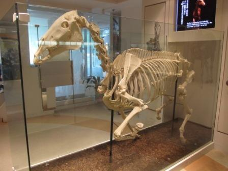 Skeleton of 3-time Hong Kong Champion Horse, Silver Lining