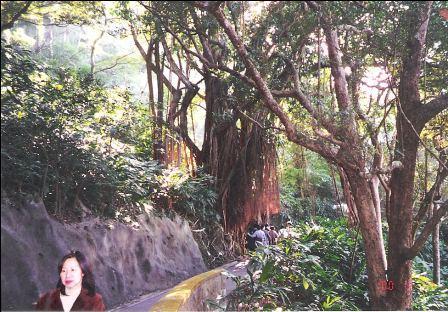 Hong Kong Peak, Lugard Road trees and path