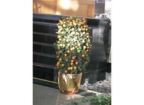A very popular Chinese New Year plant